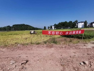水觀鎮:田間稻谷黃 秋收正當忙